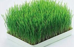 Wheatgrass Powers – Myths vs Facts