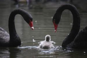 cygnet-black-swan